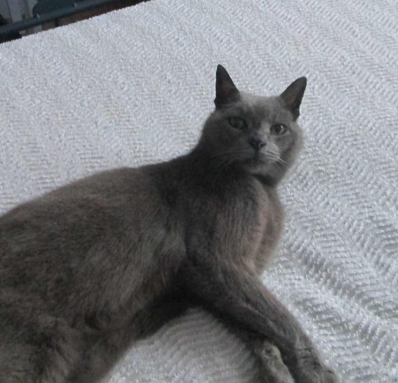 E.T., chat typé chartreux, né en 2009, en DON LIBRE Et_1510