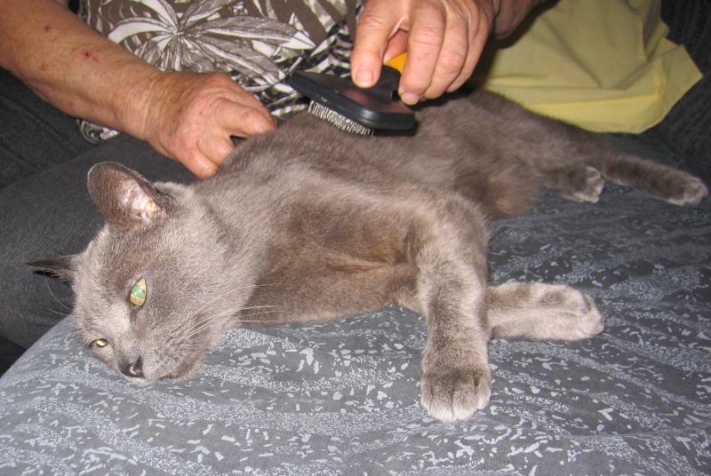 E.T., chat typé chartreux, né en 2009, en DON LIBRE Et_1710