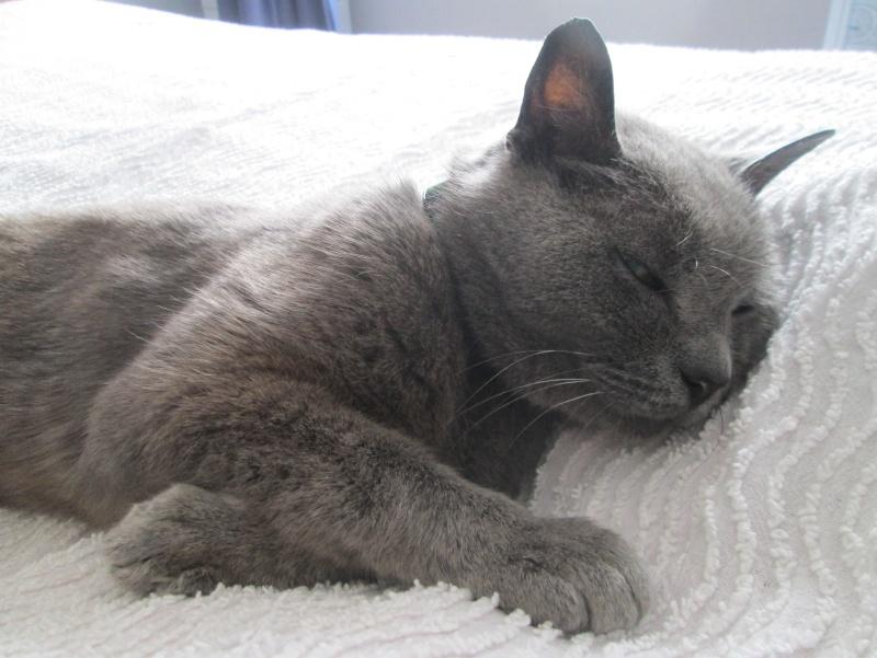 E.T., chat typé chartreux, né en 2009, en DON LIBRE Et_610