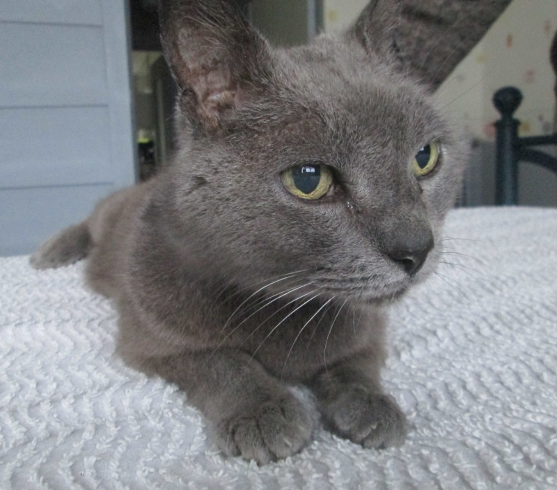 E.T., chat typé chartreux, né en 2009, en DON LIBRE Et_810