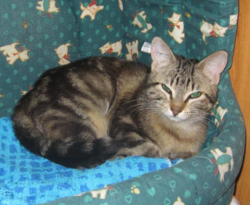 laïka - LAIKA, chatonne tigrée, née en novembre 2015 Laika_13