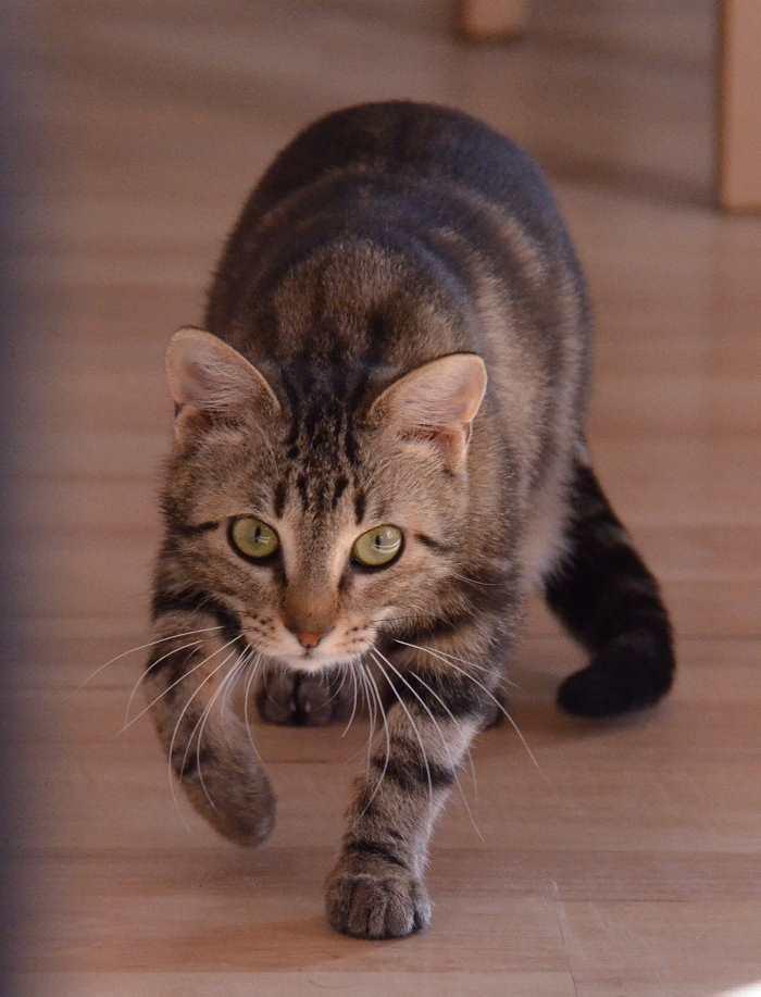 laïka - LAIKA, chatonne tigrée, née en novembre 2015 Laika_16