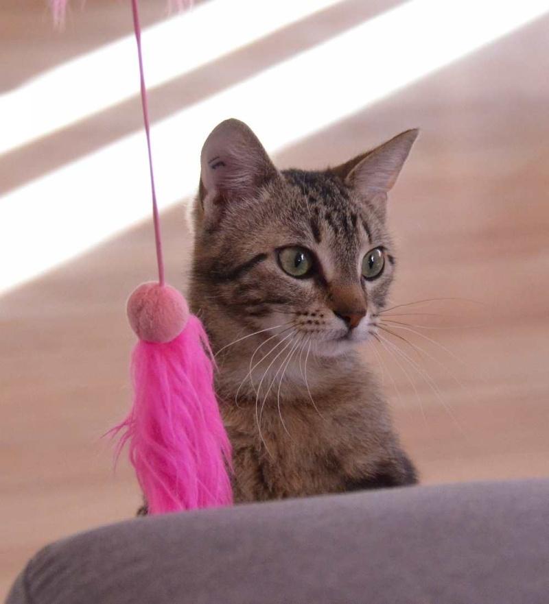 laïka - LAIKA, chatonne tigrée, née en novembre 2015 Laika_17