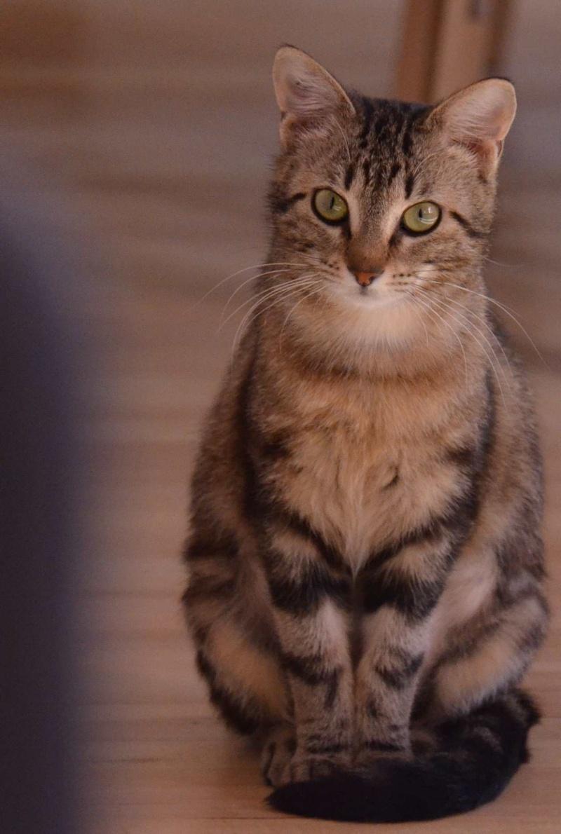laïka - LAIKA, chatonne tigrée, née en novembre 2015 Laika_18