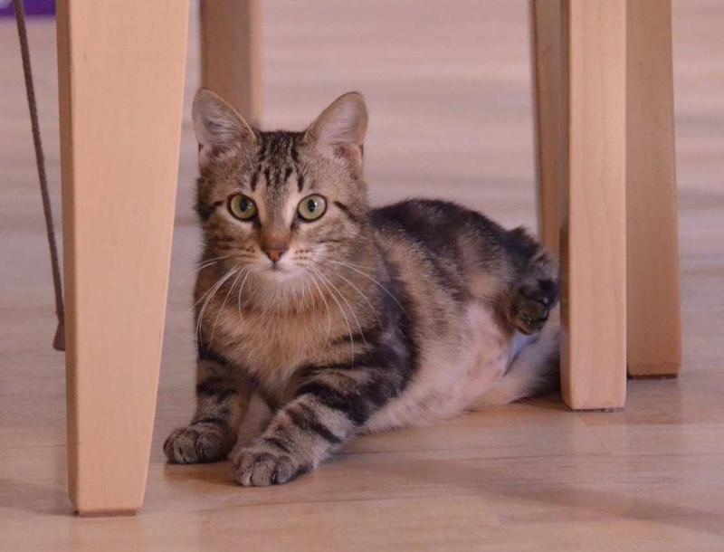 laïka - LAIKA, chatonne tigrée, née en novembre 2015 Laika_19