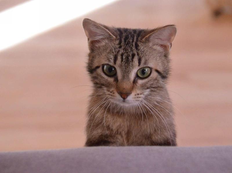laïka - LAIKA, chatonne tigrée, née en novembre 2015 Laika_20