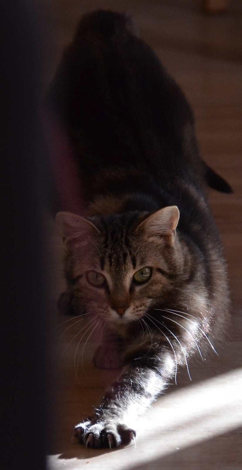 laïka - LAIKA, chatonne tigrée, née en novembre 2015 Laika_21