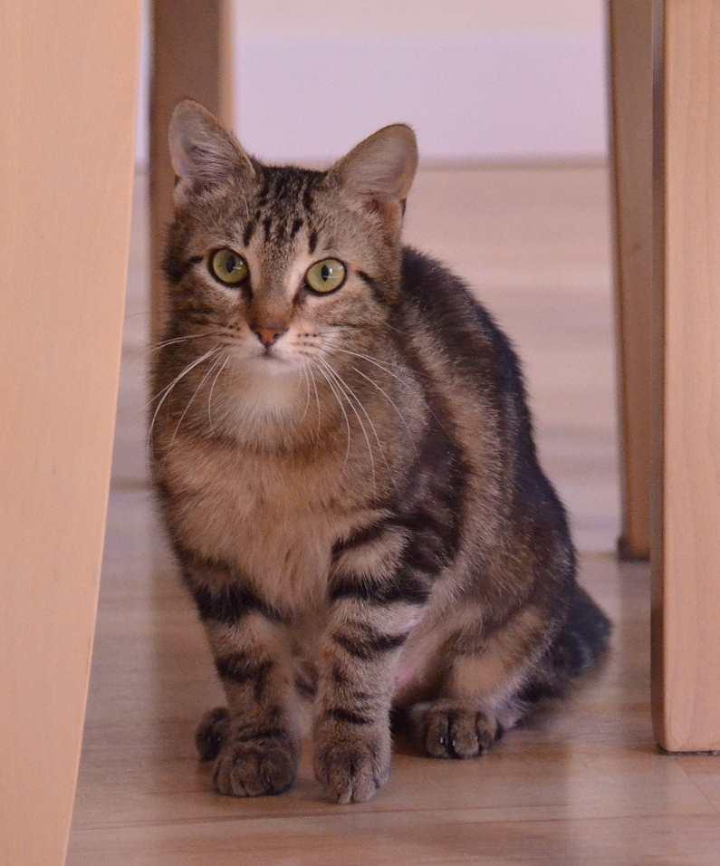 laïka - LAIKA, chatonne tigrée, née en novembre 2015 Laika_22