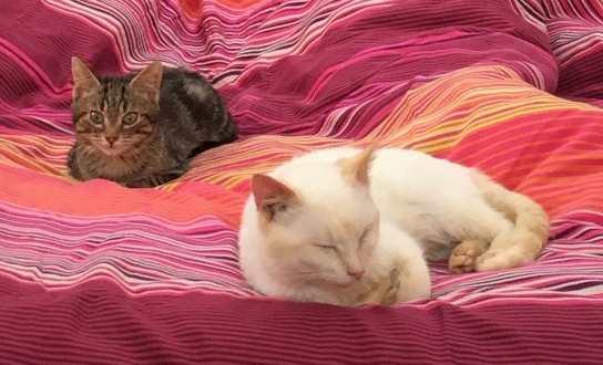 """lancome - Lancôme, jeune chat mâle crème """"red point"""", né en novembre 2015, EN DON LIBRE Lancom10"""