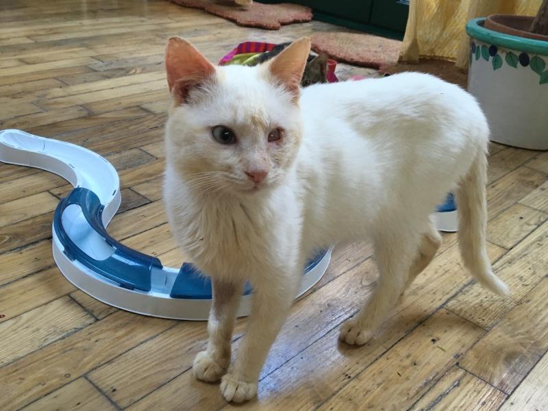 """lancome - Lancôme, jeune chat mâle crème """"red point"""", né en novembre 2015, EN DON LIBRE Lancom12"""