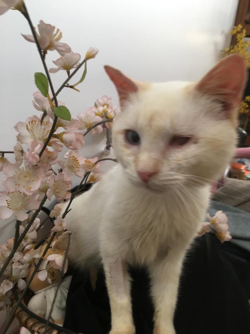 """lancome - Lancôme, jeune chat mâle crème """"red point"""", né en novembre 2015, EN DON LIBRE Lancom13"""
