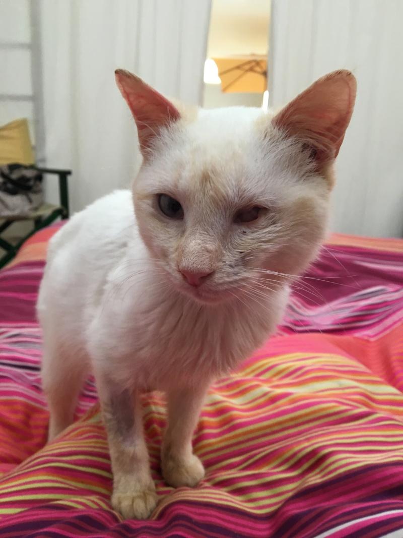 """lancome - Lancôme, jeune chat mâle crème """"red point"""", né en novembre 2015, EN DON LIBRE Lancom15"""