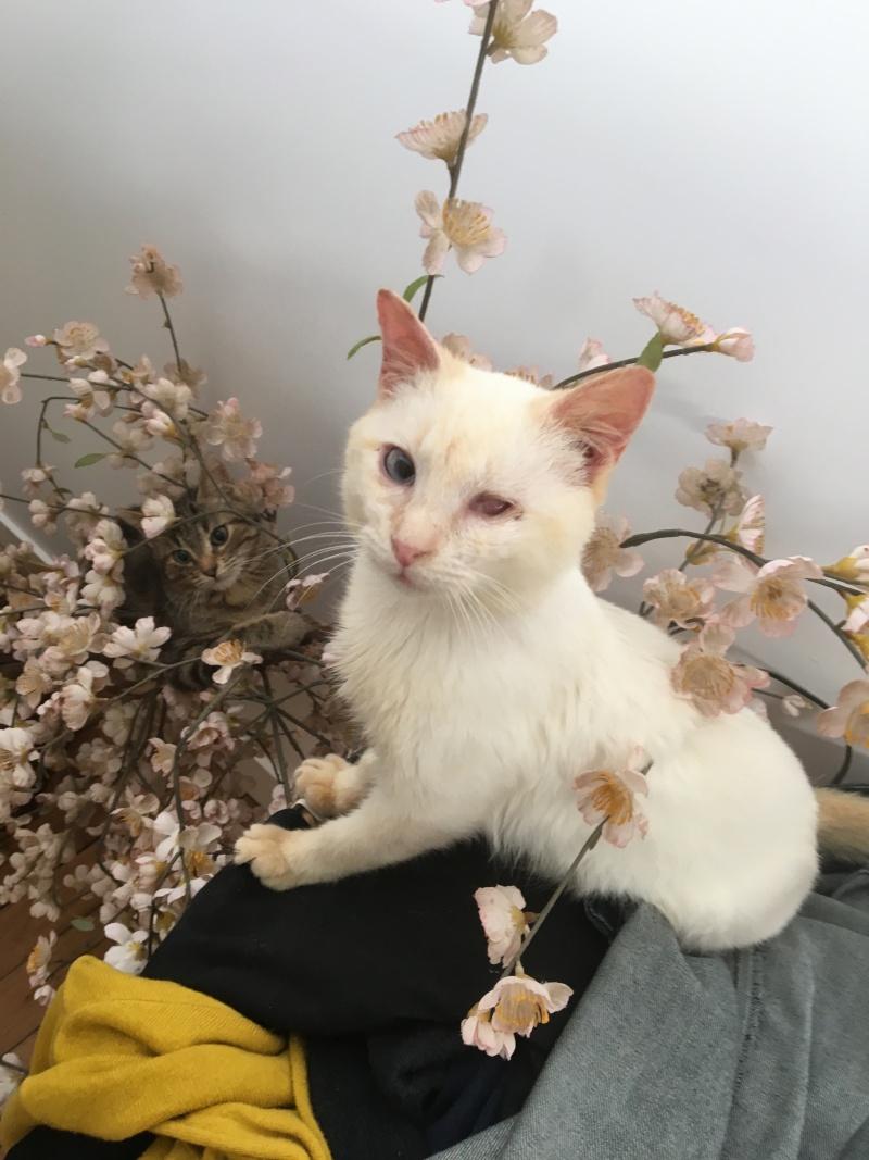 """lancome - Lancôme, jeune chat mâle crème """"red point"""", né en novembre 2015, EN DON LIBRE Lancom16"""