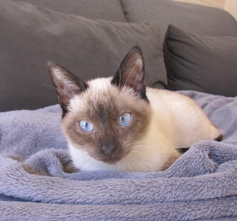 lucile - LUCILE, chatonne typée siamoise, née en décembre 2015 Lucile11