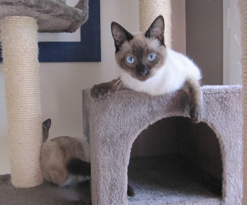 lucile - LUCILE, chatonne typée siamoise, née en décembre 2015 Lucile12