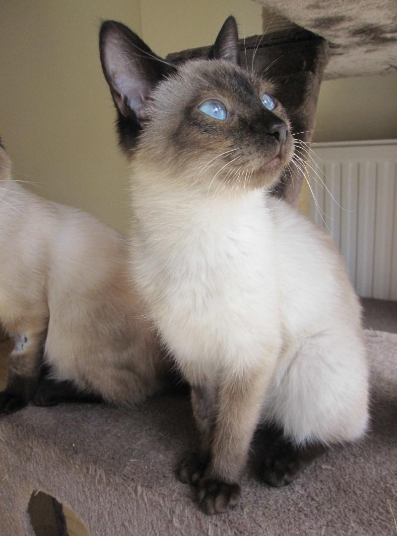 lucile - LUCILE, chatonne typée siamoise, née en décembre 2015 Lucile15