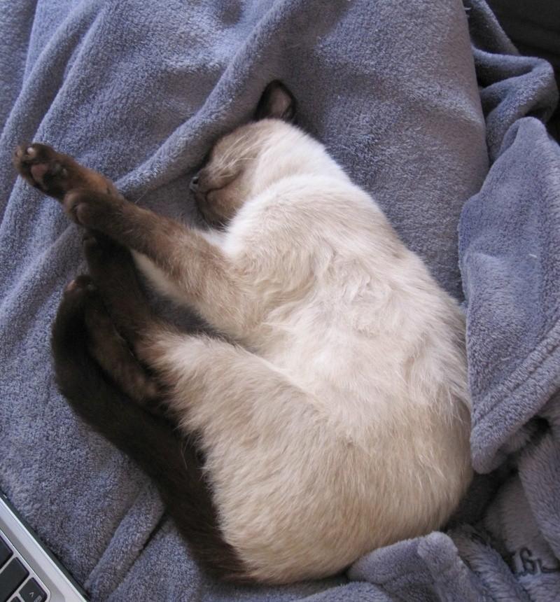 lucile - LUCILE, chatonne typée siamoise, née en décembre 2015 Lucile16