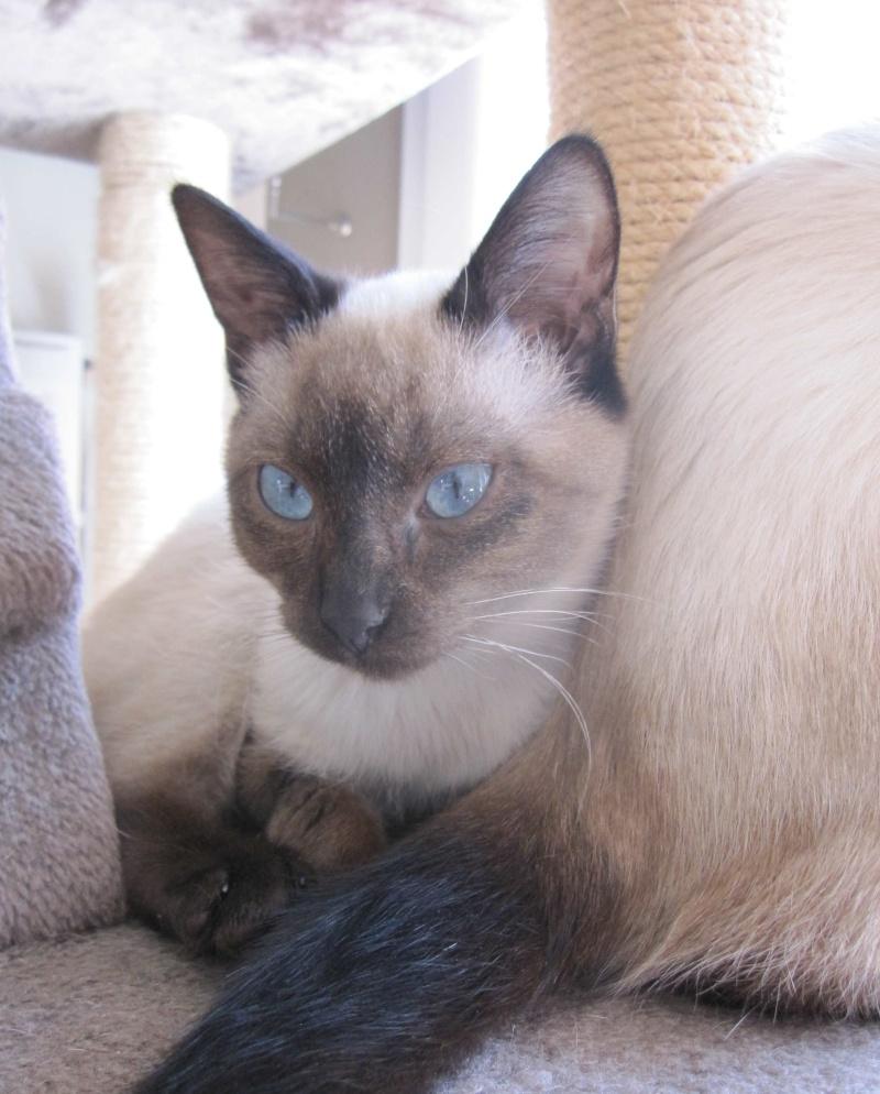 lucile - LUCILE, chatonne typée siamoise, née en décembre 2015 Lucile18