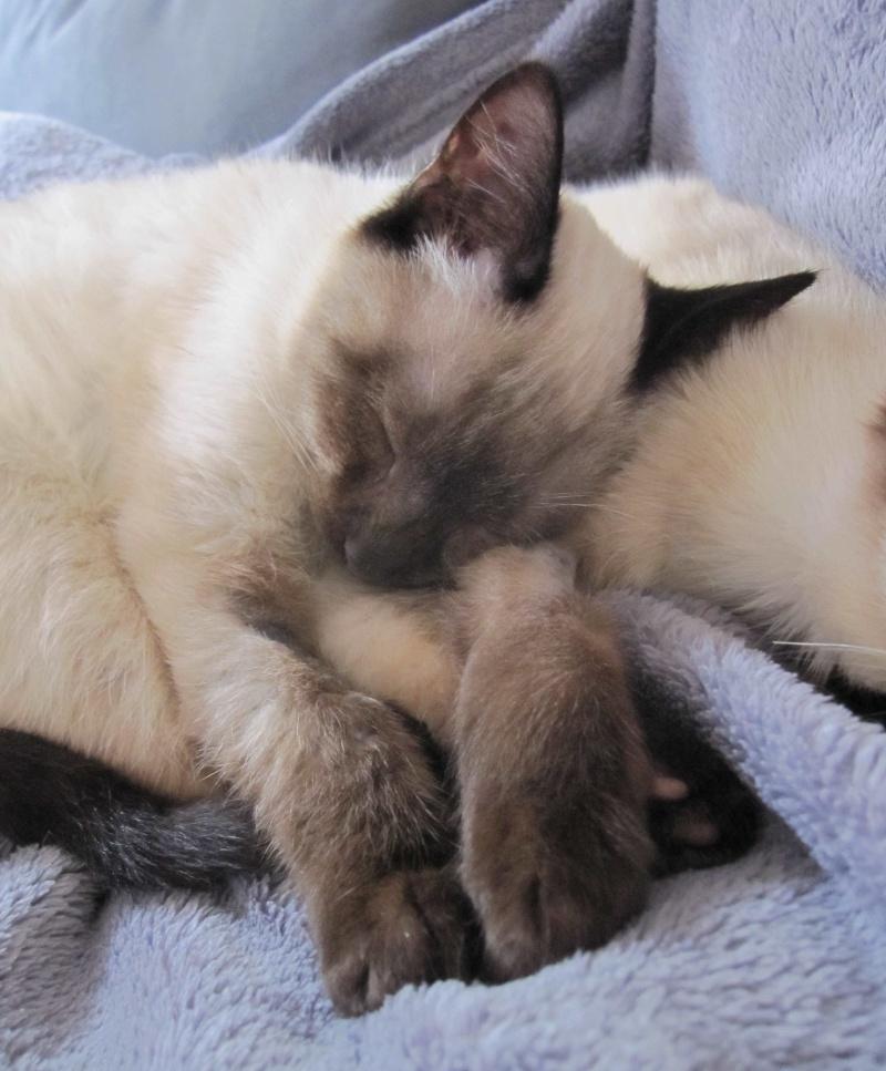 lucile - LUCILE, chatonne typée siamoise, née en décembre 2015 Lucile19