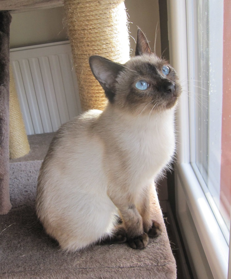 lucile - LUCILE, chatonne typée siamoise, née en décembre 2015 Lucile21