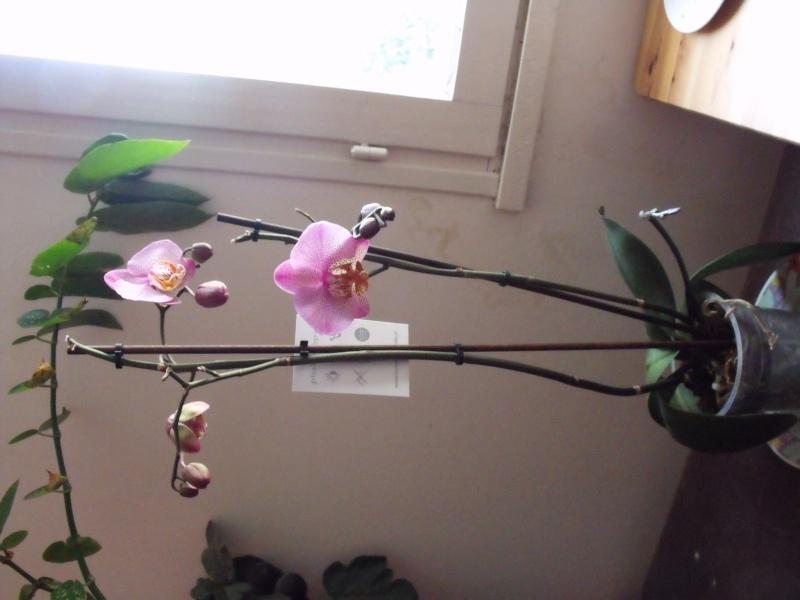 phalaenopsis Dscf0810