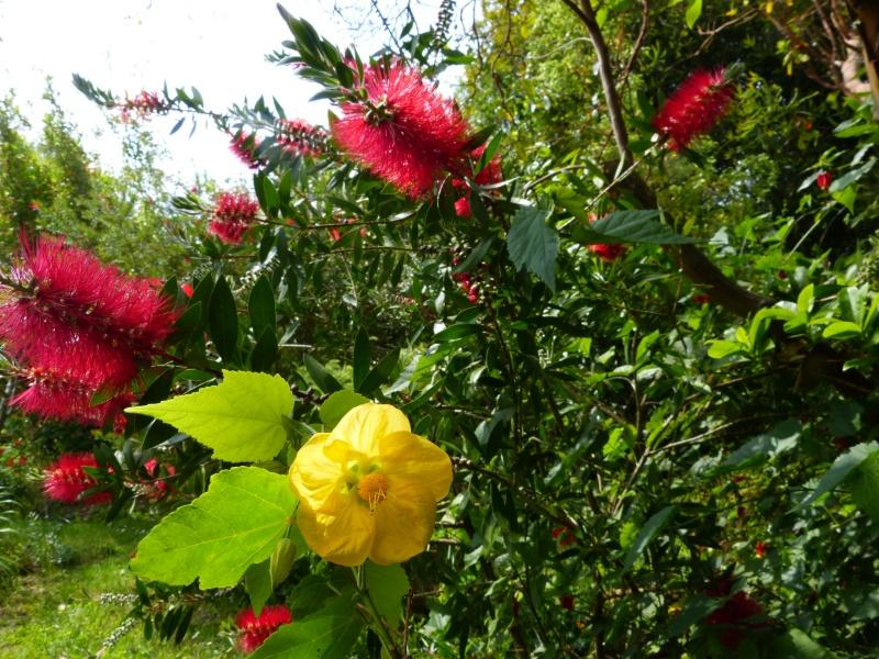 cadeaux du jardin, juin juin Abutil11
