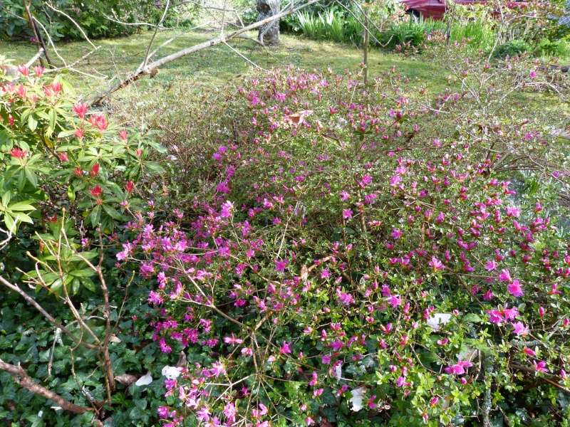 avril, jardin fébrile - Page 2 Azalea11