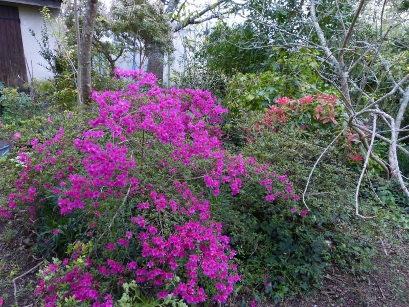 avril, jardin fébrile - Page 5 Azalea12