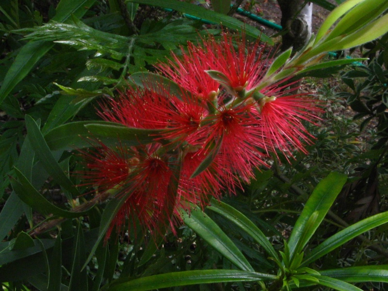 Callistemon et Melaleuca - une collection Callis17