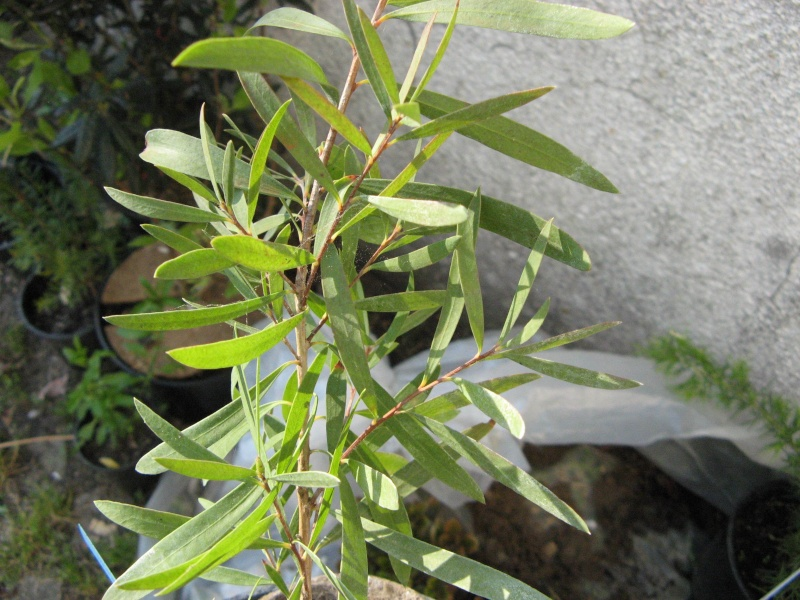 Callistemon et Melaleuca - une collection Callis18
