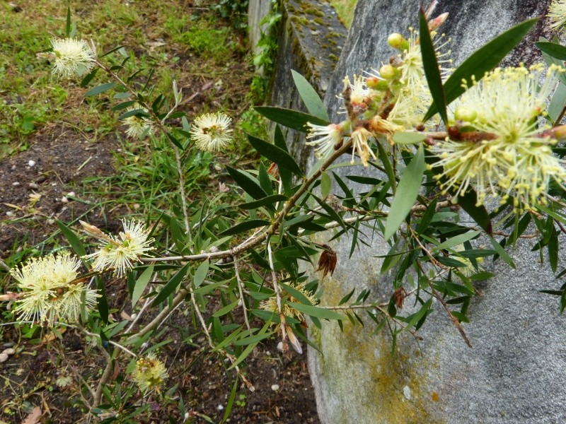 Callistemon et Melaleuca - une collection Callis19