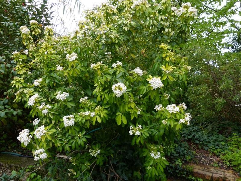 Plantes parfumées 2016 Choisy10