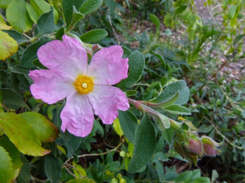 avril, jardin fébrile Cistus10