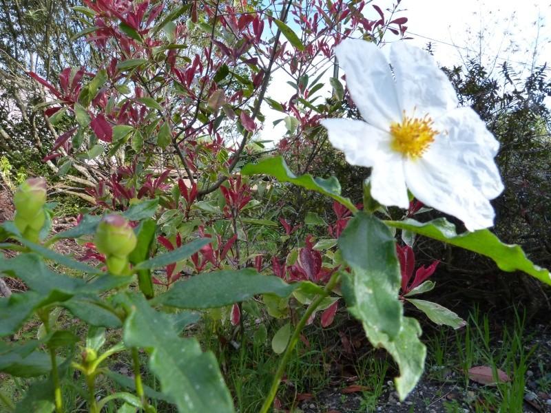avril, jardin fébrile - Page 2 Cistus11