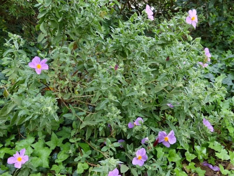 avril, jardin fébrile - Page 5 Cistus14