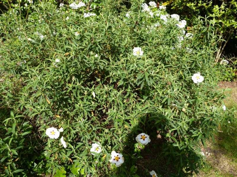 avril, jardin fébrile - Page 5 Cistus15