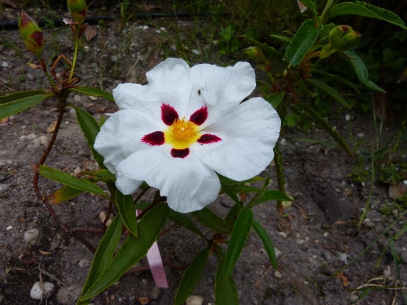 joli mois de mai, le jardin fait à son gré - Page 2 Cistus17