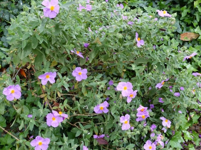 joli mois de mai, le jardin fait à son gré - Page 2 Cistus18