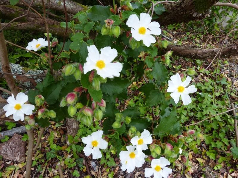 joli mois de mai, le jardin fait à son gré - Page 2 Cistus19