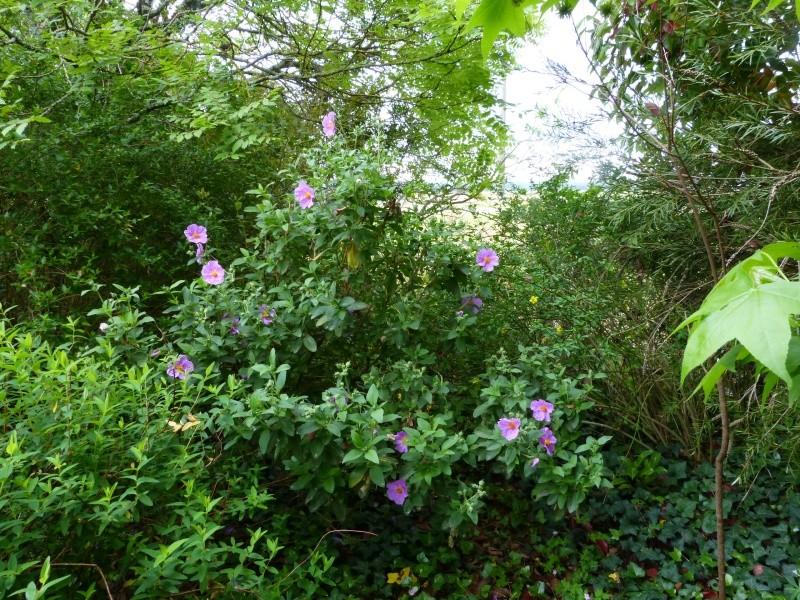 joli mois de mai, le jardin fait à son gré - Page 3 Cistus20