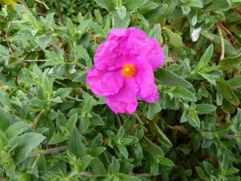 joli mois de mai, le jardin fait à son gré - Page 5 Cistus21