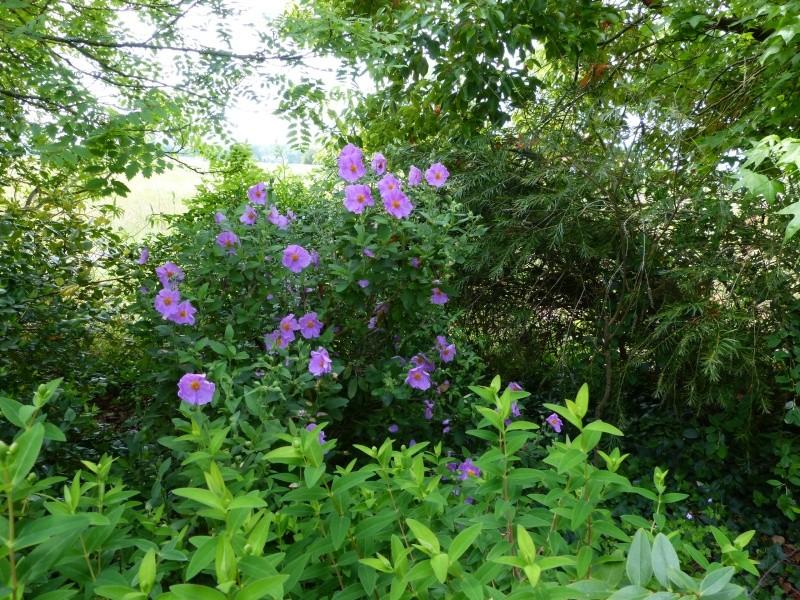 cadeaux du jardin, juin juin Cistus22