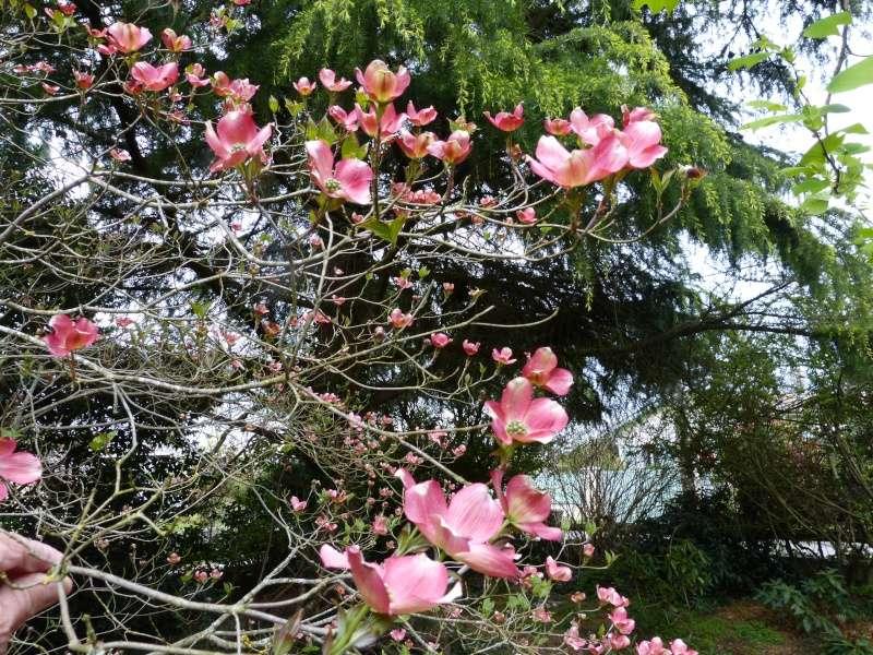 avril, jardin fébrile - Page 4 Cornus10