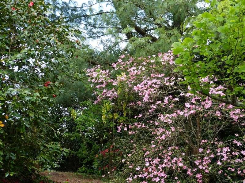 avril, jardin fébrile - Page 4 Cornus11
