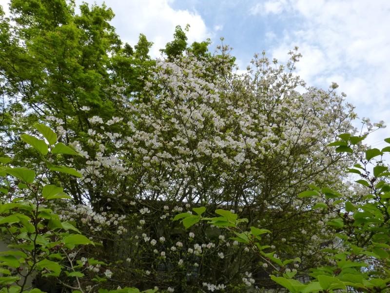 avril, jardin fébrile - Page 4 Cornus12