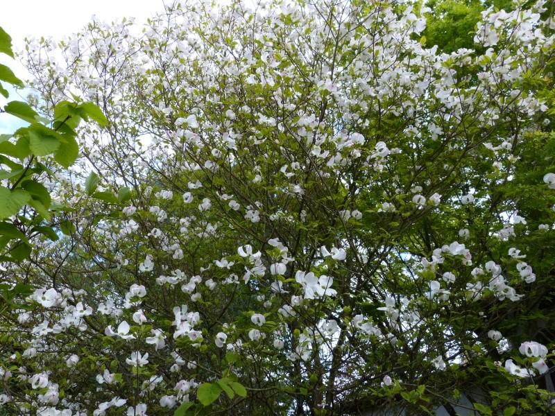 avril, jardin fébrile - Page 6 Cornus13