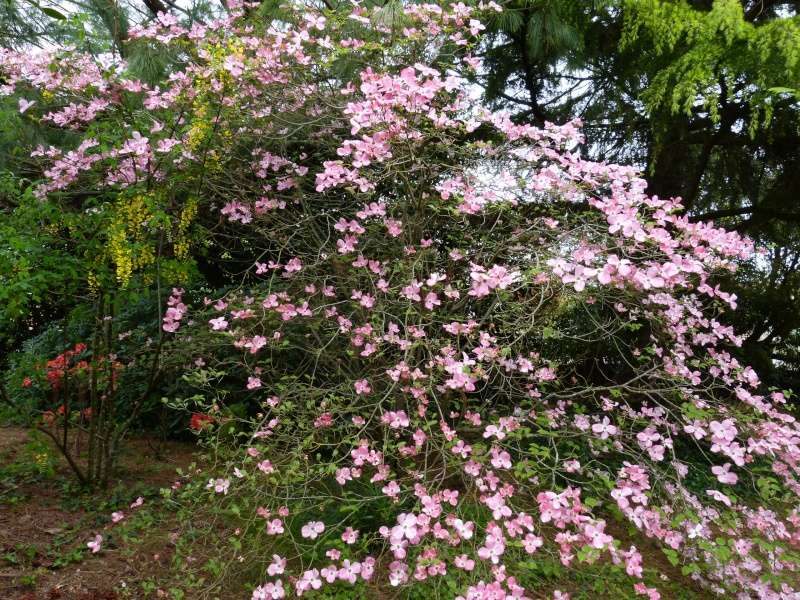 avril, jardin fébrile - Page 6 Cornus14