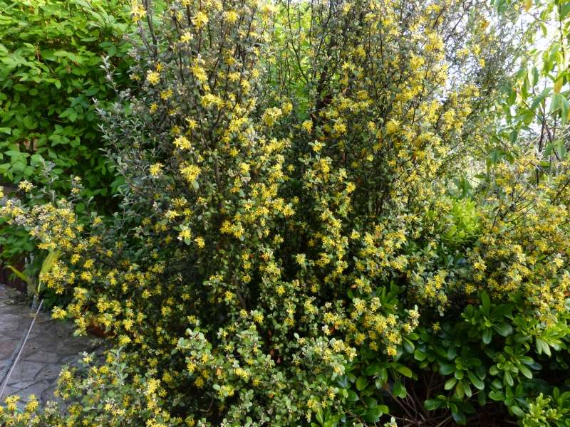 joli mois de mai, le jardin fait à son gré - Page 2 Coroki11