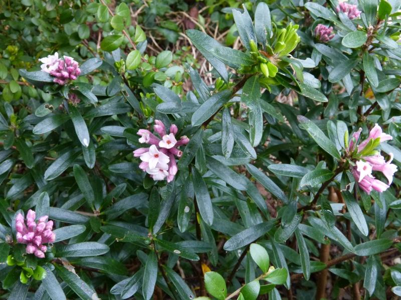avril, jardin fébrile - Page 4 Daphne10