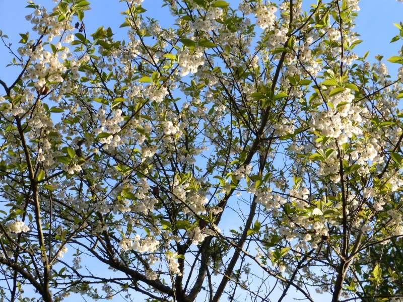 avril, jardin fébrile - Page 6 Halesi10